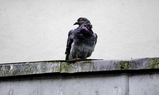 Auf der Straße gelandet – Das traurige Schicksal der Stadttauben