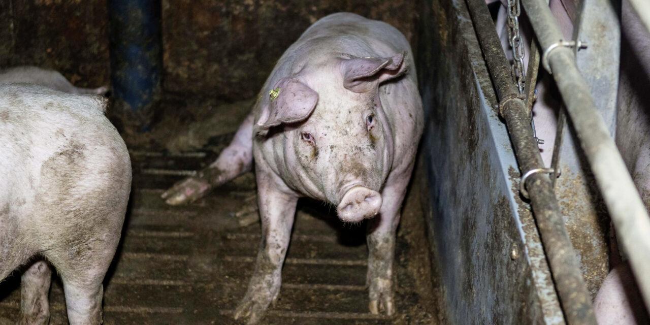 Verfassungsbruch! Verstöße gegen den Tierschutz:  Animal Rights Watch kritisiert die Regierung