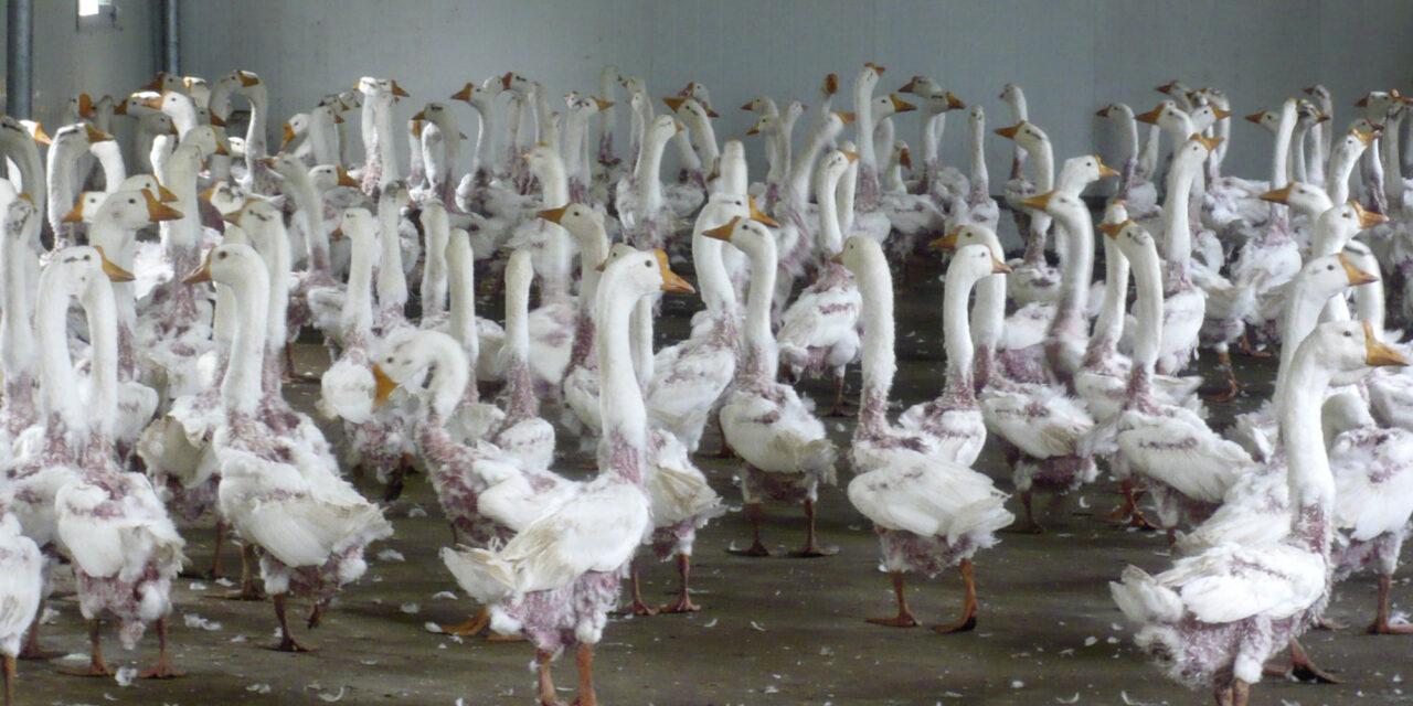 Tierqual für Daunen – Das Leid der Gänse und Enten